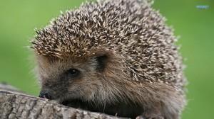 hedgehog-11979-1600x900
